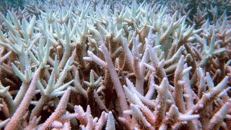 Korallen, sterbend oder schon getötet. Schon jetzt. Great Barrier Reef. | Bild Ove Hoegh-Guldberg